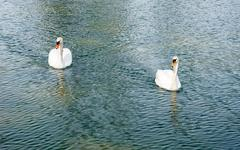 Two adult mute swans approaching on water. - stock photo