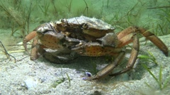 Shore crab (Carcinus maenas). Stock Footage