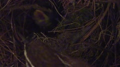 Wren feeding babies in nest close up Stock Footage