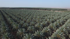 Development of agriculture. Date palms - an oasis in the desert Stock Footage
