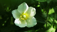 Floral garden. The close-up shot of the white blooming anemone with open petals. Stock Footage
