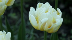 Floral garden. The close-up shot of the white blooming tulip with open petals. Stock Footage