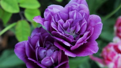 Floral garden. The close-up shot of the purple blooming  tulips with open petals Stock Footage