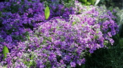 Floral garden. Close-up shot of a blooming phlox with opening purple petals. - stock footage
