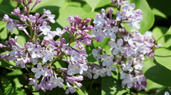 Floral garden. Close-up shot of a branch of a blossoming lilac. - stock footage