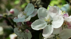Floral garden. Close-up shot of a branch of a blossoming apple tree. Stock Footage