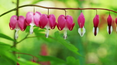 Floral garden. The pink blooming flower - dicentra. The bleeding heart. Stock Footage