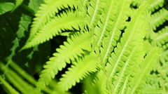 Floral garden. Close-up shot of a lush green plant of the fern. - stock footage
