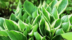 Floral garden. Close-up shot of a lush green plant of the hosta. Stock Footage