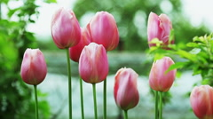 Floral garden. Close-up shot of a nine pink blooming tulips with opening petals. - stock footage