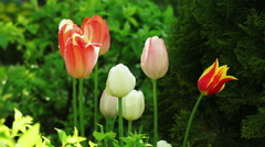 Floral garden. Close-up shot of a blooming tulips with dew drops on the petals. Stock Footage