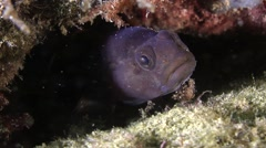 Rock goby (Gobius paganellus). Stock Footage
