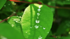 Floral garden. The dew drops lying on the leaves of flower plant. - stock footage