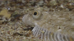 European flounder (Platichthys flesus). Stock Footage