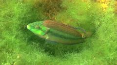 Ocellated wrasse (Symphodus ocellatus). Stock Footage