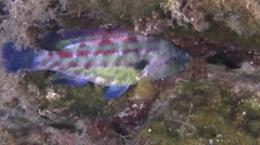 East Atlantic peacock wrasse (Symphodus tinca). Stock Footage
