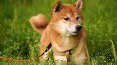 Dog Shiba Inu looks afar Stock Footage