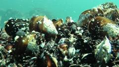 Mediterranean mussel (Mytilus galloprovincialis). Stock Footage