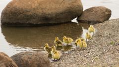 Newborn Chicks Columbia River Drink Eat Shoreline Wild Animals Birds - stock photo