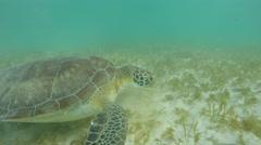 A beautiful sea turtle eating sea weed underwater in ocean Stock Footage