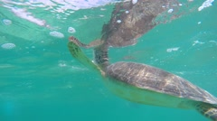 A cool sea turtle eating sea weed underwater in ocean Stock Footage