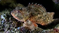 Black scorpionfish (Scorpaena sp.). Stock Footage