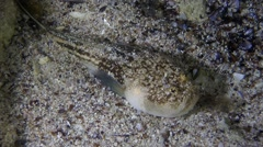 Atlantic stargazer (Uranoscopus scaber). Stock Footage