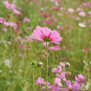 Cosmos flower in the garden Stock Photos