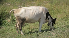 cow grazing in a meadow - stock footage