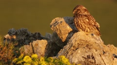 Little owl jumps off rock - stock footage