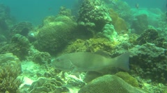 Grouper or seabass species swimming in coral reef Stock Footage