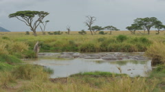 Hippos in a lake in Serengeti National Park Tanzania - 4K Stock Footage