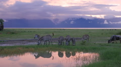 Infinity Swimming pool at Tarangire National park with Zebras grazing  - 4k - stock footage