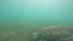 Cool sea turtles eating sea weed underwater in ocean Stock Footage