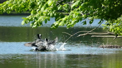 Coot Coots water birds aggressive fighting during breed season in Spring Stock Footage