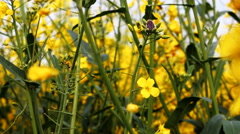 Blooming canola field and blue sky. Close up dolly shot. Stock Footage