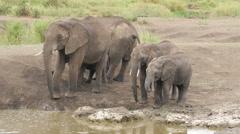 A herd of Elephants drinking in a waterhole pole in Serengeti Tanz Stock Footage