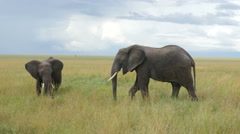 Elephants crossing in Serengeti National Park Tanzania - 4K Ultra HD Stock Footage