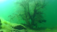 Silhouette of a diver behind sunken tree. Stock Footage