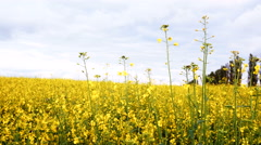 Blooming canola field and blue sky. Close up dolly shot. - stock footage