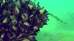 Zebra mussel (Dreissena polymorpha). Stock Footage