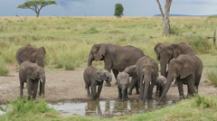 A herd of Elephants drinking in a waterhole pole in Serengeti Tanz Stock Footage