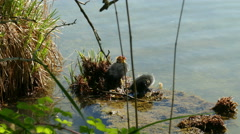 4K Coot Coots Baby chick water bird breed season waiting to be fed in Spring Stock Footage
