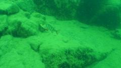 European perch (Perca fluviatilis). Stock Footage