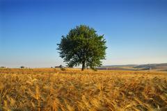 SUMMER LANDSCAPE.Between Puglia and Basilicata: corn field at dawn. (ITALY) - stock photo