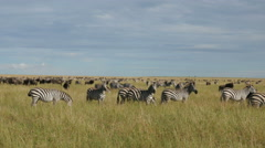A herd of common zebras galopping in Serengeti National Park Tanzania - 4K  Stock Footage