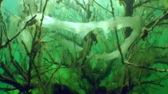 Frog eggs (Rana sp.). - stock footage