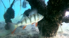 European perch (Perca fluviatilis). Stock Footage