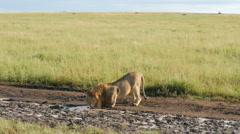 Male lion drinking water in Serengeti Tanzania - 4K Ultra HD Stock Footage