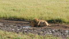Male lion drinking water in Serengeti Tanzania - 4K Ultra HD - stock footage